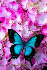 blue-butterfly-on-pink-hydrangea-garry-gay